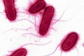 Влияние кишечной палочки на развитие цистита
