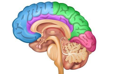 Центр регуляции в головном мозге