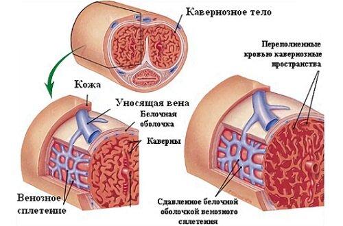кавернозные тела