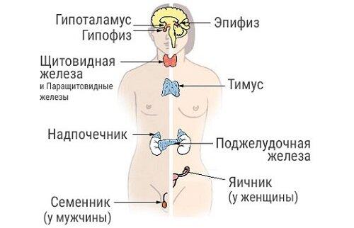 эндокринная система мужчины